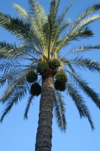 10 CANARY ISLAND DATE PALM Phoenix Reclinata Canariensis Tree Seeds