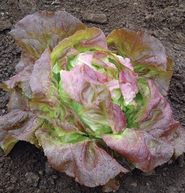 David's Garden Seeds Lettuce Skyphos D023AF (Purple) 100 Open Pollinated Seeds