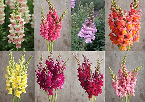 (David's Garden Seeds Collection Set Flower Snapdragon Potomac Hybrid DH8473 (Multi) 10 Varieties 500 Seeds (Non-GMO, Hybrid))