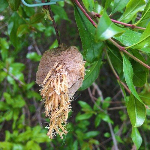 Praying Mantis Eggs For Garden Pest Control