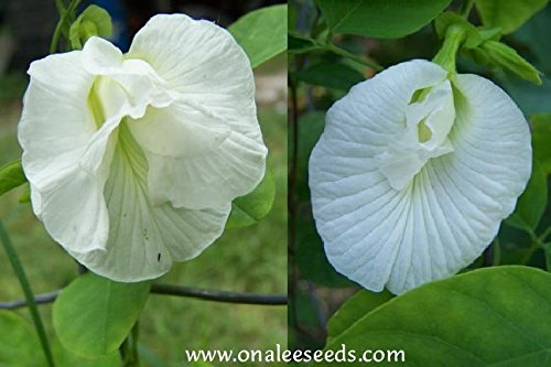 Butterfly Pea Vine Seeds: Single and Double Blue and White Mix, Clitoria ternatea, bunga telang, Edible/Tea and Decorative, Butterfly Garden/Host Plant (15+ Seeds) From USA. by Onalee's Seeds (Image #3)