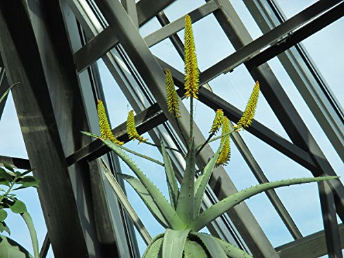 The Mountain Aloe: Aloe Marlothii