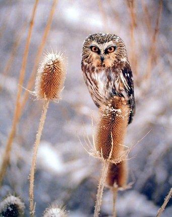 Saw Whet Owl Animal Wildlife Bird Wall Decor Art Print Poster