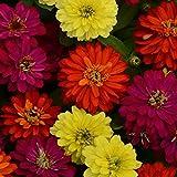 Outsidepride Zinnia Zahara Double Brilliant Flower Seed Mix - 50 Seeds