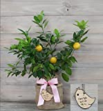 Improved Meyer Lemon Gift Tree with Personalized Baby Girl Keepsake Ornament by The Magnolia Company