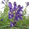 Seeds Baikal Skullcap (Scutellaria baicalensis) Organic Medical Herb