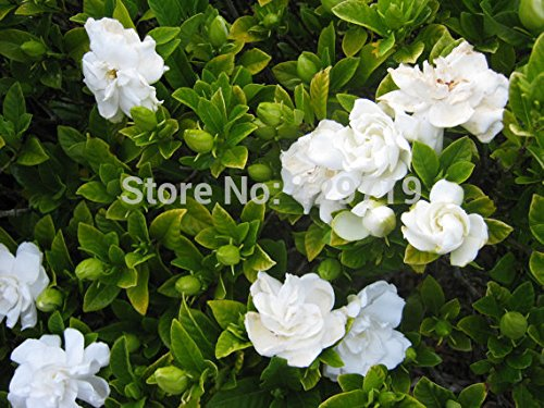 10/BAG Cape Jasmine Seeds,(Gardenia jasminoides) fragrant Exotic Shrub - open pollinate rare beautiful bonsai flower seeds SVI