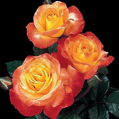 Chihuly Rose Bush Reblooming Orange Fragrant Rose Grown Organic Potted - Own Root Easy To Grow Floribunda
