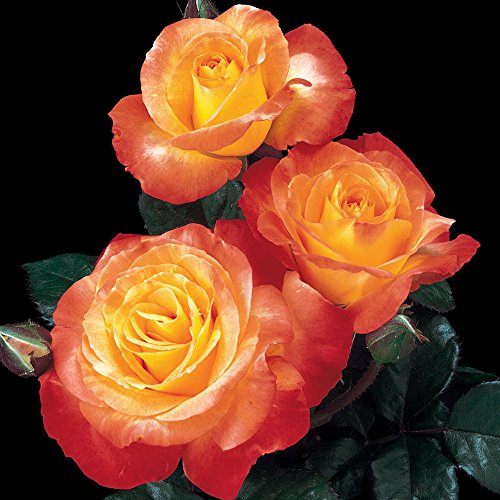 Chihuly Rose Bush Reblooming Orange Fragrant Rose Grown Organic Potted - Own Root Easy To Grow ()