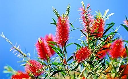 1 Gallon Bottlebrush Tree Plant