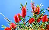 BOTTLE BRUSH PLANT-gorgeous bottlebrush like flowers, semi dwarf, liner/starter plant, (Hydrangeas Shrub, Evergreens, Gardenia