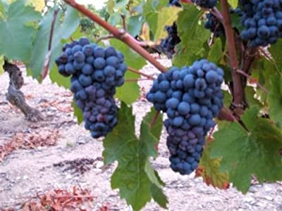 Grape Seeds ? LA ROCHELLE ? Black Fruit ? NON GMO ? MEDICINAL ? 15 Seeds
