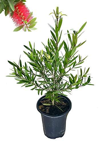 (Bottlebrush Tree - Quart Size Container - Callistemon Citrinus 'Red Cluster')