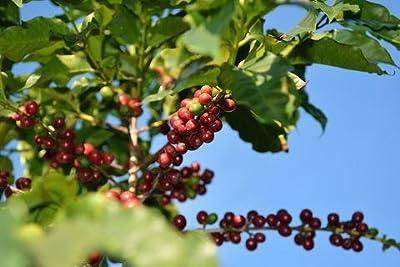 5LBS Brazil Volcano Fazenda Do Prado #02 Unroasted Green Coffee Beans from Bodhi Leaf Trading Company