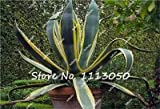 10 Pcs/Bag Aloe Cacti Agave Seeds, Rare Succulent Cactus Bonsai Flower Seeds Agave-Americana Potted Agave Plants for Home Garden