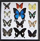 REAL 12 MIX BEAUTIFUL BUTTERFLY IN FRAME DISPLAY