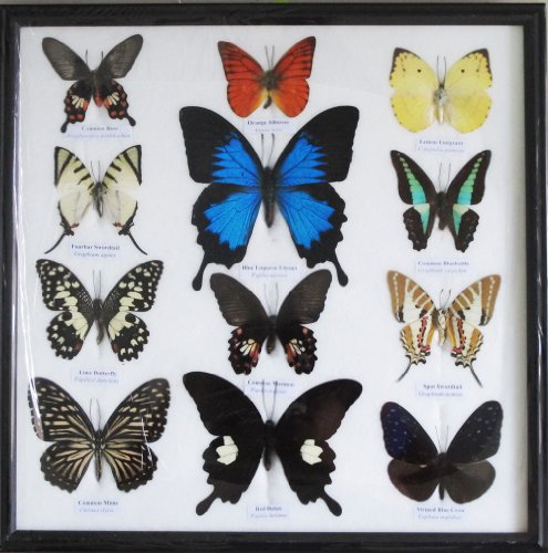 Butterfly Display (REAL 12 MIX BEAUTIFUL BUTTERFLY IN FRAME DISPLAY INSECT TAXIDERMY)