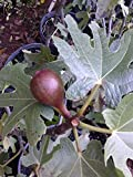 (1 gallon) FIG Chicago Hardy-fig Tree for Sub Freezing Temperatures,high-yielding fig tree that is easy to grow