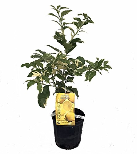 Pink Variegated Eureka Lemon Tree - Potted - Fruiting Size - 8