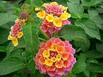 Lantana Camara Rose Plant In A 13 Cm Pot Amazon Co Uk Garden Outdoors