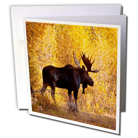 Moose bull in golden willows. - Greeting Card, 6 x 6 inches, single (gc_191442_5)