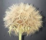 25 Seeds Tragopogon porrifolius (Salsify)