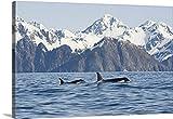Steven Kazlowski Premium Thick-Wrap Canvas Wall Art Print entitled Killer whales swimming in Resurrection Bay, Kenai Fjords National Park, Alaska