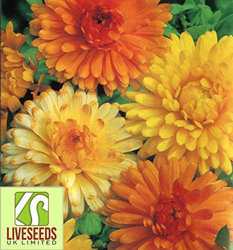 Liveseeds - Calendula Art Shades seeds 30 UK Finest - Shades Uk