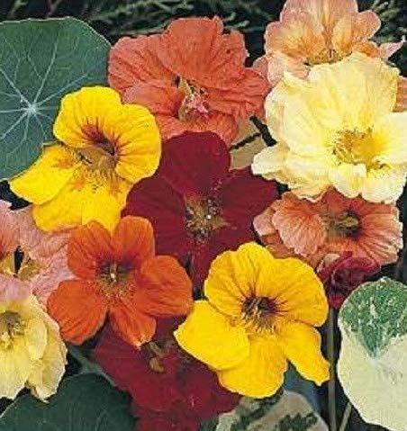 Seeds Dwarf Jewel Mix Nasturtium Tropaeolum Flower Get 50 Seeds - Jewel Dwarf Nasturtium
