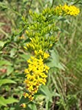 Golden Rod - Solidago Canadensis - 100 Seeds