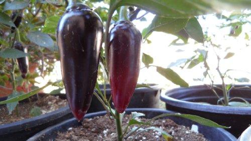 Purple Jalapeno Pepper Plants Combo product image