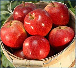 product image for Peak Perfection Fuji Apples Gift from Organic Mountain