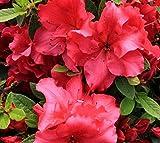 Red Bloom-A-Thon Reblooming Azalea - Live Plant - Quart Pot