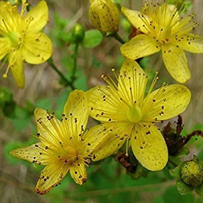 Hot - St. John's Wort 50 Seeds - Perennial - Fragrant - Herb - Deer Resistant : Garden & Outdoor