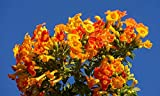 Home Comforts Peel-n-Stick Poster of Marmalade Bush Streptosolen Jamesonii Bloom Flowers Vivid Imagery Poster 24 x 16 Adhesive Sticker Poster Print