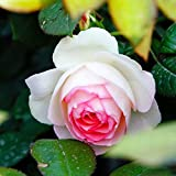100 Pcs Climbing Colorful Rose Flowers Seeds For Garden Home Balcony Fences Yard Decoration Flowers Plants (Mimi Eden Rosa Seeds)
