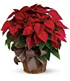 Chicago Flower Co. - Large Red Poinsettia - Fresh and Hand Delivered