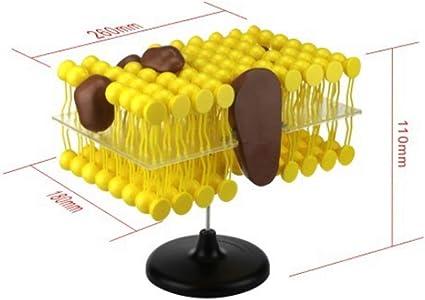 FLAMEER Membrana de Plasma Estructura Modelo Productos Laboratorial Materiales de Ciencia
