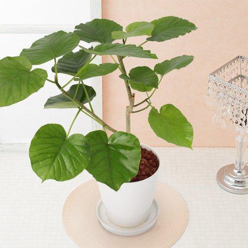 イイハナドットコム 観葉植物 フィカスウンベラータ 6号 B01LZB1Q5O ウンベラータ6号 ウンベラータ6号