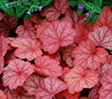 Heuchera Coral Bells Georgia Peach 10 seeds