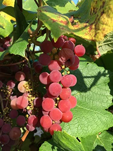 Brilliant Wine Grape Vine - Plantable Year-Round!
