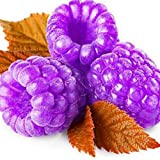 1000Pcs Raspberry Seeds Framberry Delicious Fruit Home Garden Yard Organic Plant - Purple Raspberry Seeds
