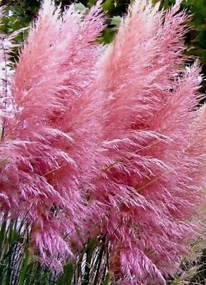 "50+ Ornamental Perennial Grass Seed - Pampas Grass - ""Pink"" Tall Feathery Blooms"
