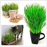 AGROBITS 50 unids Cat Grass Triticum Aestivum Pequeã±As Plantas Catnip Gatito Trigo Hierba Bonsai Cat Spit Bolas de Pelo Cuidado de la Salud Cat
