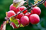 12 Seeds Wild Plum, American Plum, (Prunus americana) Fruit Tree