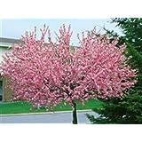 Mandelbaum, Prunus triloba, rosa Blüte, Höhe: 170-180 cm + Dünger