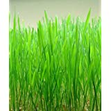 500 CAT Grass Wheat Grass PET Grass Wheatgrass Catgrass Triticum Aestivum Seeds