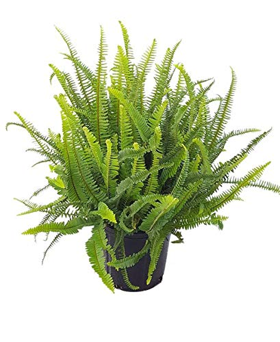 PlantVine Nephrolepis obliterata 'Kimberly Queen', Kimberly Queen Fern - Extra Large - 12-14 Inch Pot (7 Gallon), Live Indoor Plant by PlantVine (Image #1)