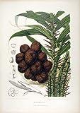 Zalacca Edulis (Salak Palm) Palm Tree of Java Indonesia