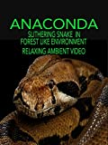 Anaconda slithering snake in forest like environment relaxing ambient video